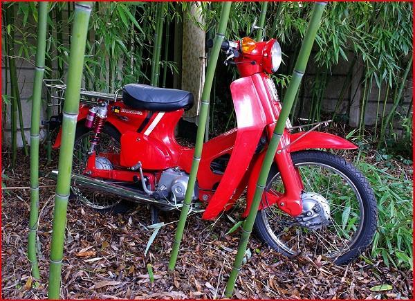 Honda c50 between bamboo